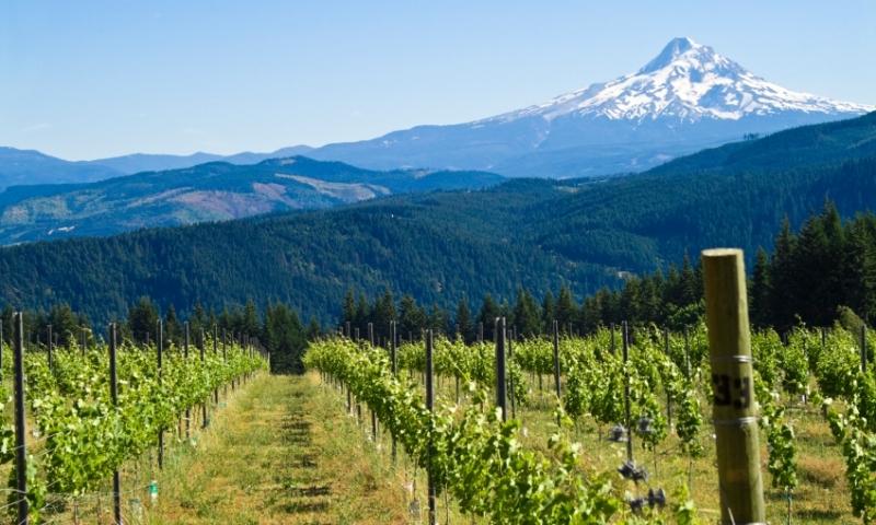 Mount Hood Oregon Vineyard