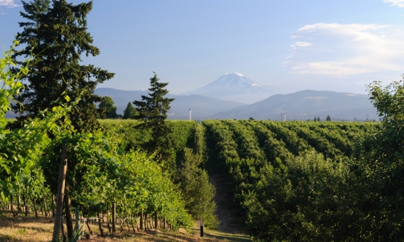 Vineyard in Hood River