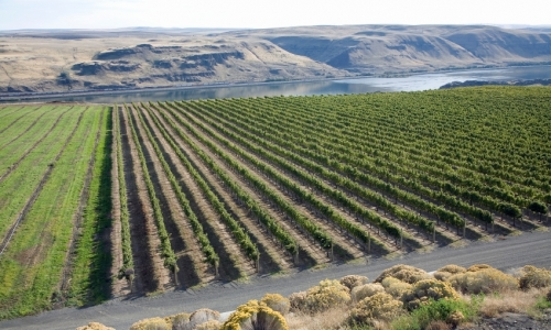 Vineyard Columbia River Gorge