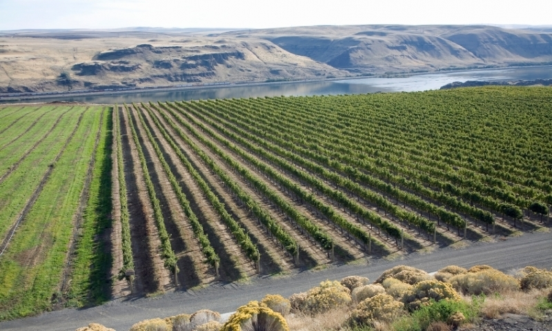 Vineyard along the Columbia River Gorge