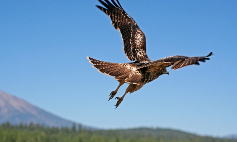 A Red Tail Hawk Lifting Off